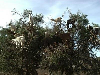 Những loài dê leo trèo - 6