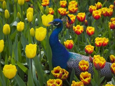 """Đến Hà Lan thưởng thức """"Vườn châu Âu"""" - 4"""