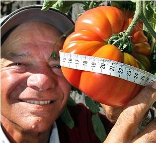 Quả cà chua nặng hơn 1kg - 1