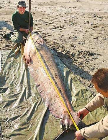 Câu được cá nước ngọt nặng 113 kg - 2