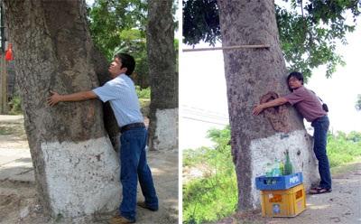 Hơn 50 cây cổ thụ trước nguy cơ bị bức tử - 1