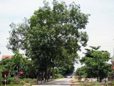 Hơn 50 cây cổ thụ trước nguy cơ bị bức tử - 3
