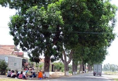 Hơn 50 cây cổ thụ trước nguy cơ bị bức tử - 5