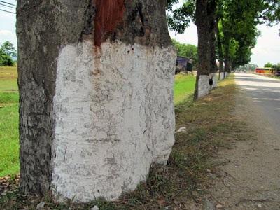 Hơn 50 cây cổ thụ trước nguy cơ bị bức tử - 2