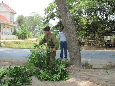 Hơn 50 cây cổ thụ trước nguy cơ bị bức tử - 6