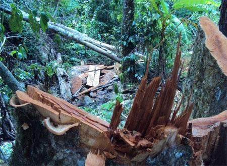 """Cận cảnh cánh rừng đang """"hấp hối"""" vì lâm tặc - 3"""