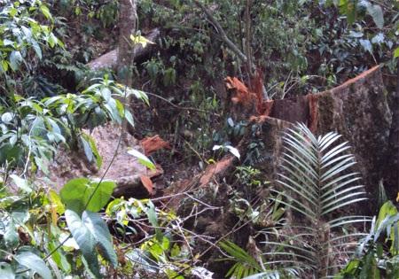 """Cận cảnh cánh rừng đang """"hấp hối"""" vì lâm tặc - 9"""