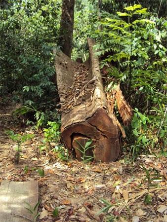 """Cận cảnh cánh rừng đang """"hấp hối"""" vì lâm tặc - 8"""