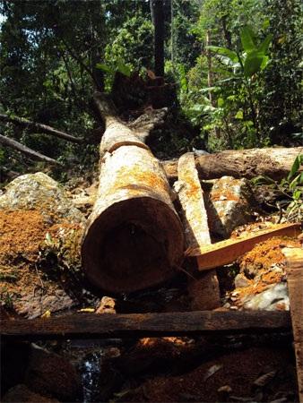 """Cận cảnh cánh rừng đang """"hấp hối"""" vì lâm tặc - 4"""