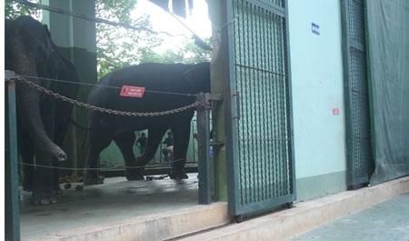 Đưa xác voi Khăm Bun về bảo tàng làm mẫu vật - 2