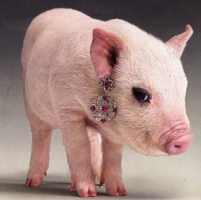 Lợn làm… người mẫu trang sức - 6