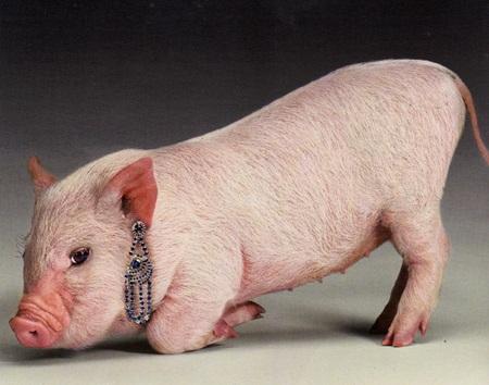 Lợn làm… người mẫu trang sức - 2