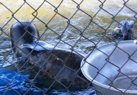 """Hải cẩu """"lưu lạc"""" vào vùng biển Thừa Thiên - Huế - 5"""