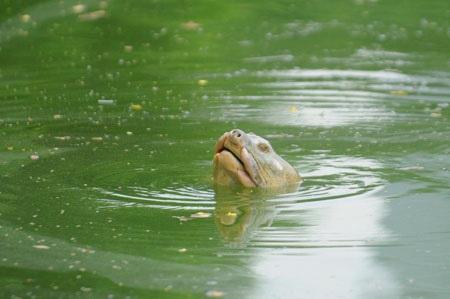 Trưa nay cụ Rùa Hồ Gươm lại nổi hơn 30 phút  - 1