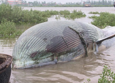 Kéo xác cá voi dài gần 10m vào bờ - 1