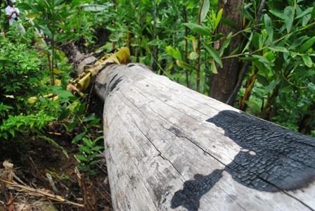 Bất lực nhìn lâm tặc rầm rộ phá rừng - 1
