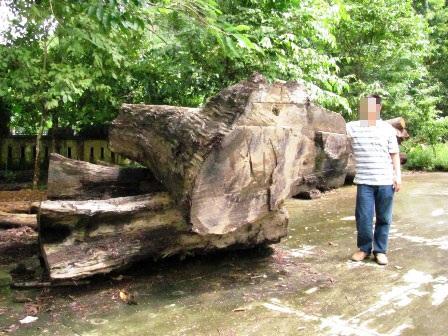 Bất lực nhìn lâm tặc rầm rộ phá rừng - 3