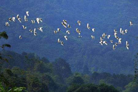 Cò bay rợp núi nơi thượng nguồn sông Hồng - 1