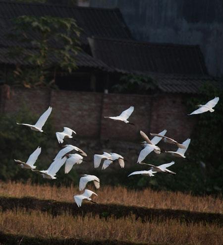 Cò bay rợp núi nơi thượng nguồn sông Hồng - 4