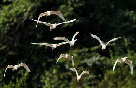Cò bay rợp núi nơi thượng nguồn sông Hồng - 5