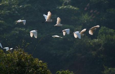 Cò bay rợp núi nơi thượng nguồn sông Hồng - 7