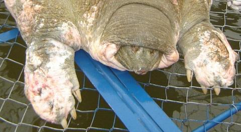 Cụ Rùa đã hàng trăm năm tuổi - 3