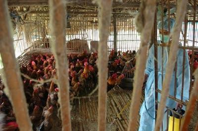 H5N1: Giờ G đang đến gần - 1