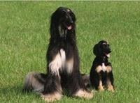Chú chó nhân bản vô tính đầu tiên trên thế giới - 1
