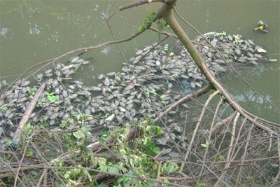 """Cá dọn bể không """"địch"""" nổi với dòng sông ô nhiễm - 1"""