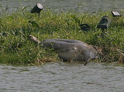 Ảnh cụ rùa Hồ Gươm nổi trong ngày nắng đẹp - 4