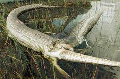 Mãng xà nổ bụng vì xơi... cá sấu - 1