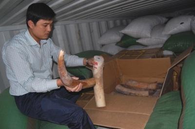 Khởi tố vụ nhập lậu gần 7 tấn ngà voi - 1