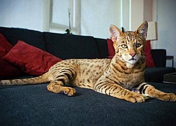 Ashera - chú mèo hàng vạn đô - 1