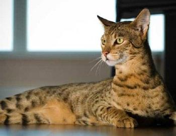 Ashera - chú mèo hàng vạn đô - 3