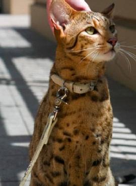 Ashera - chú mèo hàng vạn đô - 4