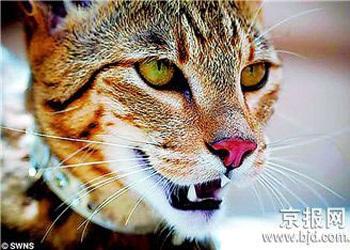 Ashera - chú mèo hàng vạn đô - 2
