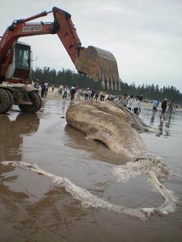 Chùm ảnh: Cá voi hơn 9 tấn dạt vào bờ biển Hà Tĩnh - 4