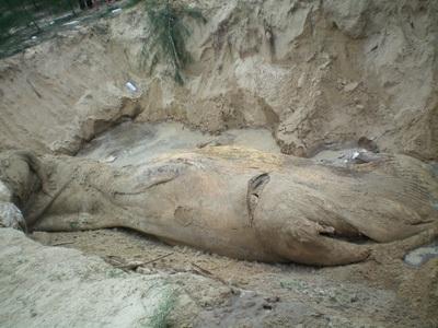 Chùm ảnh: Cá voi hơn 9 tấn dạt vào bờ biển Hà Tĩnh - 6