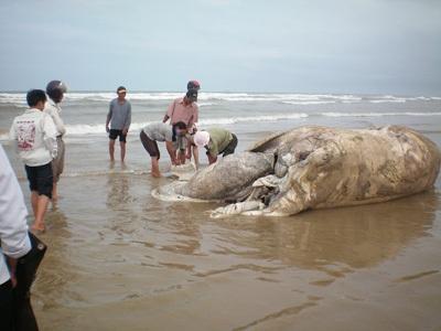 Chùm ảnh: Cá voi hơn 9 tấn dạt vào bờ biển Hà Tĩnh - 3