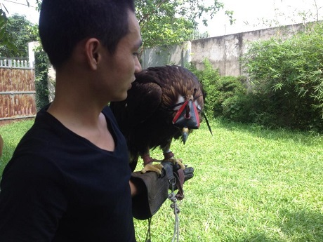 Để huấn luyện thuần thục được giống chim săn mồi này đòi hỏi rất nhiều công sức và kỹ thuật