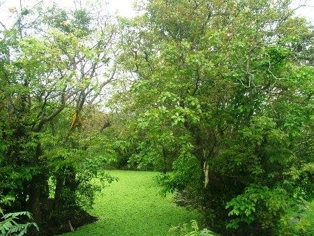 Trải qua bao đời, rừng lộc vừng ở thôn Phú Thọ vẫn vững chãi, xanh tươi