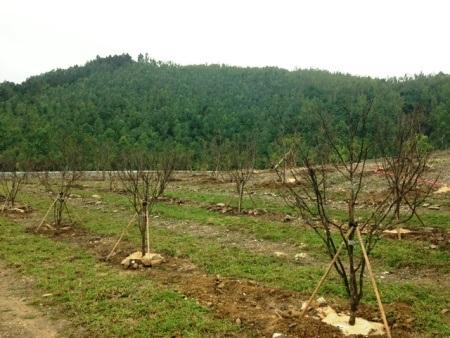 Thảm cỏ dưới những gốc cây mai vàng ở khu mộ Đại tướng được lấy từ quê nhà Lệ Thủy ra trồng