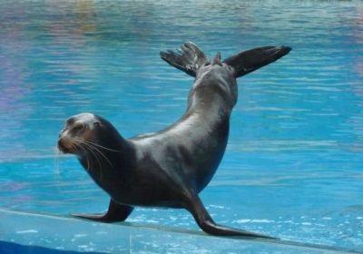 Một chú sư tử biển đang biểu diễn thăng bằng