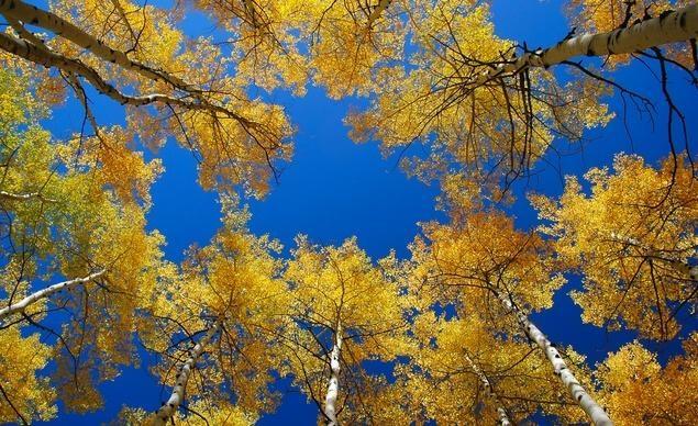 Rực rỡ sắc vàng tại Aspens, tiểu bang Colorado