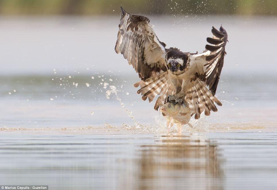 Chú cá chép tội nghiệp đang bị đưa về khu rừng gần hồ để làm thức ăn bữa tối cho chim ưng biển