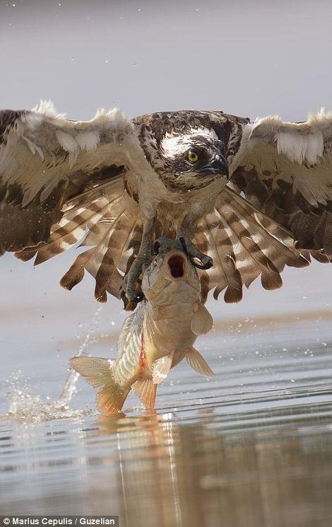 Chú cá chép đang kêu cứu
