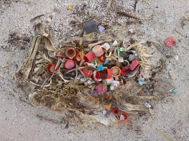 Ngổn ngang rác và phế liệu trong bụng của một chú chim hải âu đã chết
