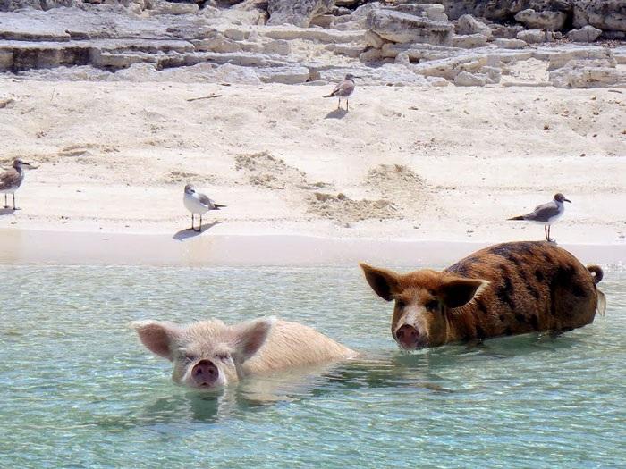 Những chú lợn rừng đã trở thành người bạn thân thiện với du khách