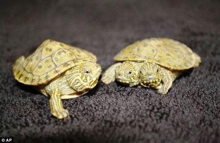 Thelma và Louise phát triển bình thường như những con rùa khác