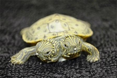 Chú rùa có 2 đầu ở Mỹ